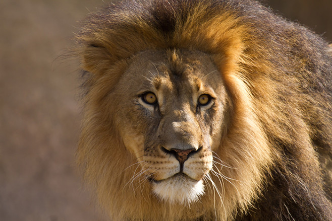 5linx lion